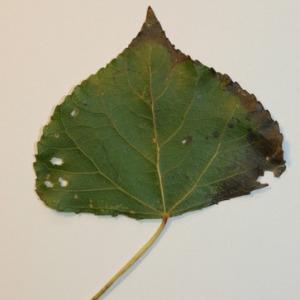 Photographie n°151824 du taxon Populus nigra L.