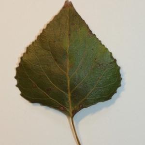 Photographie n°151825 du taxon Populus nigra L.