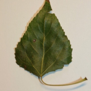 Photographie n°151826 du taxon Populus nigra L.
