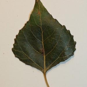 Photographie n°151827 du taxon Populus nigra L.