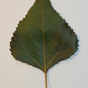 Photographie n°151829 du taxon Populus nigra L.