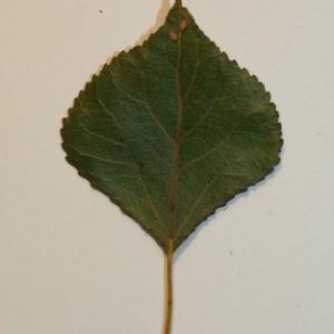 Photographie n°151830 du taxon Populus nigra L.