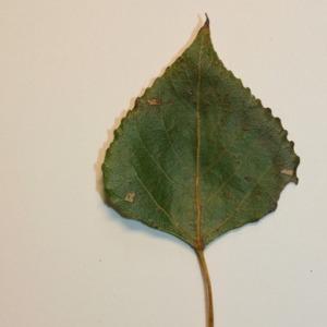 Photographie n°151833 du taxon Populus nigra L.