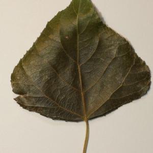 Photographie n°151834 du taxon Populus nigra L.