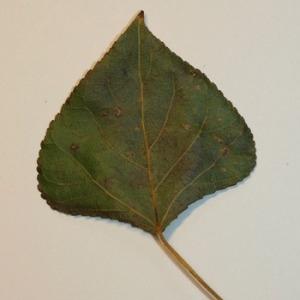 Photographie n°151835 du taxon Populus nigra L.