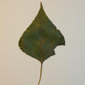 Photographie n°151836 du taxon Populus nigra L.