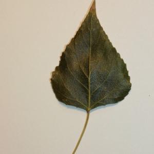 Photographie n°151837 du taxon Populus nigra L.