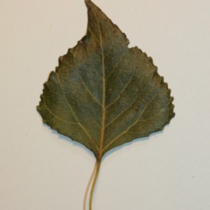 Photographie n°151838 du taxon Populus nigra L.