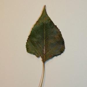 Photographie n°151839 du taxon Populus nigra L.