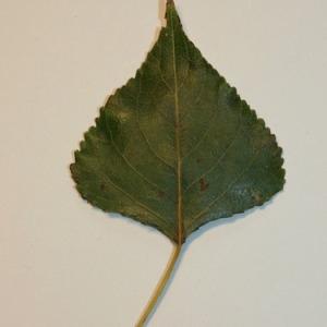 Photographie n°151840 du taxon Populus nigra L.