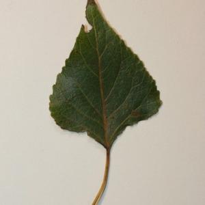Photographie n°151841 du taxon Populus nigra L.