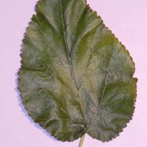 Photographie n°151842 du taxon Morus alba L. [1753]
