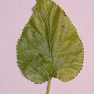 Photographie n°151843 du taxon Morus alba L. [1753]