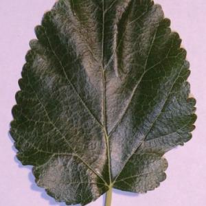 Photographie n°151844 du taxon Morus alba L. [1753]