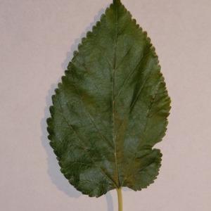 Photographie n°151845 du taxon Morus alba L. [1753]