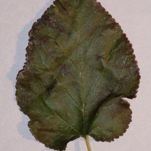 Photographie n°151846 du taxon Morus alba L. [1753]