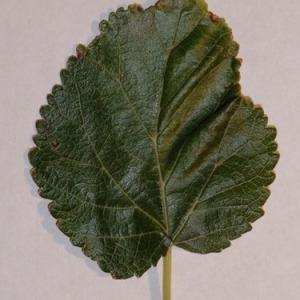 Photographie n°151848 du taxon Morus alba L. [1753]