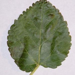 Photographie n°151849 du taxon Morus alba L. [1753]
