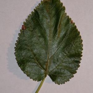 Photographie n°151850 du taxon Morus alba L. [1753]