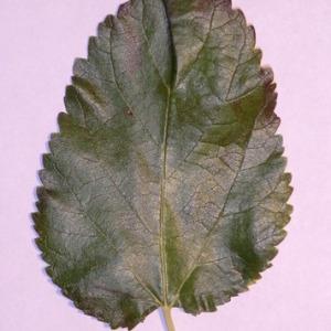 Photographie n°151852 du taxon Morus alba L. [1753]