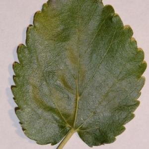 Photographie n°151853 du taxon Morus alba L. [1753]