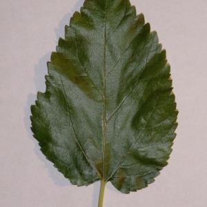 Photographie n°151854 du taxon Morus alba L. [1753]
