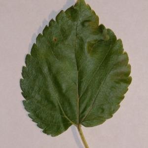 Photographie n°151855 du taxon Morus alba L. [1753]