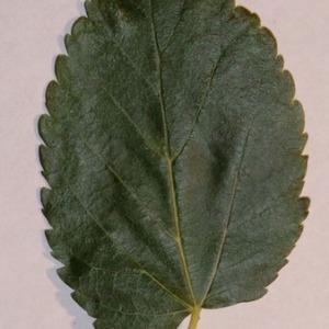 Photographie n°151856 du taxon Morus alba L. [1753]
