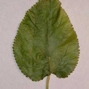 Photographie n°151857 du taxon Morus alba L. [1753]