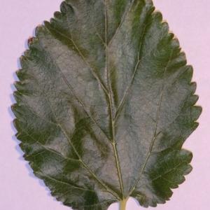 Photographie n°151858 du taxon Morus alba L. [1753]