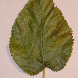 Photographie n°151859 du taxon Morus alba L. [1753]