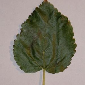 Photographie n°151861 du taxon Morus alba L. [1753]