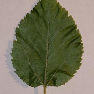 Photographie n°151862 du taxon Morus alba L. [1753]