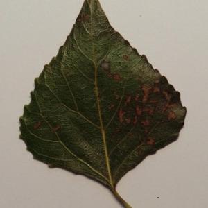 Photographie n°151865 du taxon Populus nigra L.