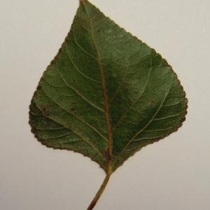 Photographie n°151868 du taxon Populus nigra L.