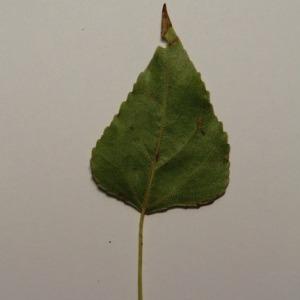 Photographie n°151869 du taxon Populus nigra L.