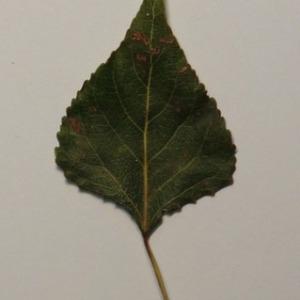 Photographie n°151870 du taxon Populus nigra L.
