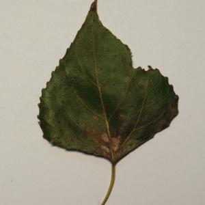 Photographie n°151871 du taxon Populus nigra L.