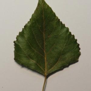 Photographie n°151872 du taxon Populus nigra L.