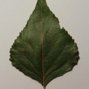 Photographie n°151873 du taxon Populus nigra L.
