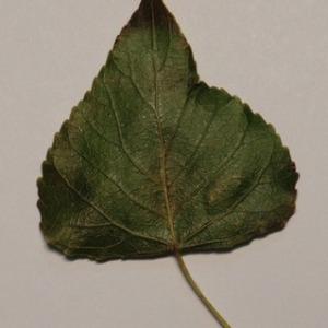 Photographie n°151874 du taxon Populus nigra L.