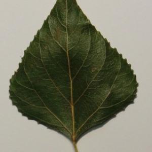 Photographie n°151876 du taxon Populus nigra L.