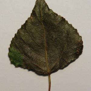 Photographie n°151878 du taxon Populus nigra L.