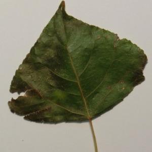 Photographie n°151880 du taxon Populus nigra L.