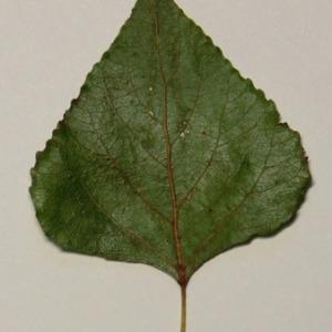 Photographie n°151881 du taxon Populus nigra L.