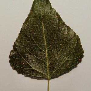 Photographie n°151882 du taxon Populus nigra L.