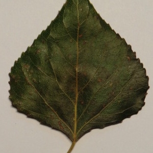 Photographie n°151883 du taxon Populus nigra L.