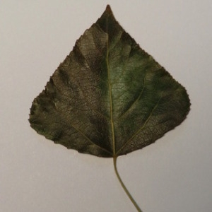 Photographie n°151886 du taxon Populus nigra L.