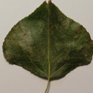 Photographie n°151889 du taxon Populus nigra L.
