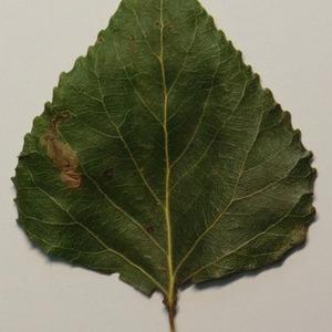 Photographie n°151890 du taxon Populus nigra L.